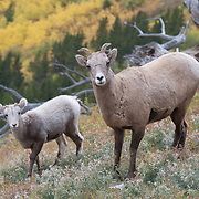 Mother and baby Bighorn Sheep (Ovis canadensis) in Glacier National Park, Montana.