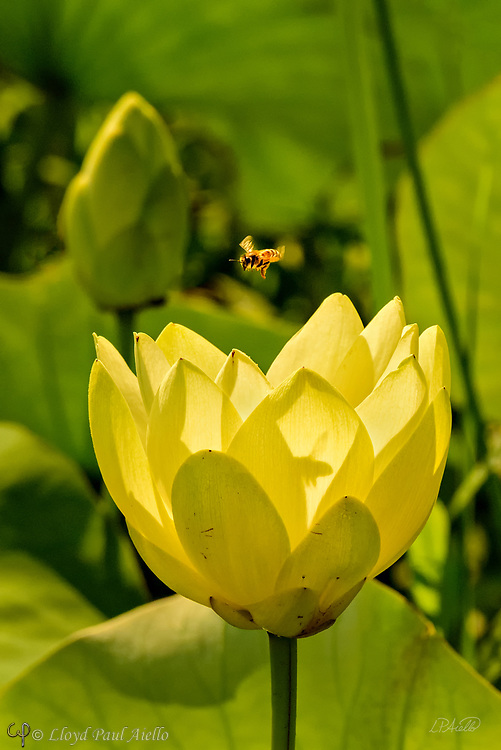 A Western honey bee (Apis mellifera) approaches an Indian Lotus (Nelumbo nucifera) and casts its shadow on the Lotus blossom petals.  <br /> <br /> The Western or European honey bee is the most common of the 7–12 species of honey bee worldwide, and one of the first domesticated insects.  It is the primary species maintained by beekeepers to this day for both its honey production and pollination activities. With human assistance, the western honey bee now occupies every continent except Antarctica. Because of its wide cultivation, this species is the single most important pollinator for agriculture globally. <br /> <br /> The Indian or Sacred Lotus has roots in the soil of the pond bottom, while the leaves float on top of the water surface or are held well above it. The flowers rise above the leaves and the plant normally grows to a height of about 150 cm (60 inches) and a horizontal spread of up to 3 meters (over 3 feet).  A single leaf may be as large as 60 cm (24 inches) in diameter, while the showy flowers can be up to 20 cm (8 inches) in diameter.  The lotus has a remarkable ability to regulate the temperature of its flowers to within a narrow range.  Lotus flowers have been shown to maintain a temperature of 30–35 °C (86–95 °F), even when the air temperature dropped to 10 °C (50 °F). The Lotus is one of only three species of known thermoregulating, heat-producing, plants. Lotus flowers, seeds, young leaves, and roots are all edible.  An individual lotus can live for over a thousand years and has the rare ability to revive into activity after stasis. In 1994, a seed from a sacred lotus, dated at roughly 1,300 years old ± 270 years, was successfully germinated.<br /> <br /> In Buddhist symbolism, the lotus represents purity of the body, speech, and mind as if floating above the muddy waters of attachment and desire. In classical written and oral literature of many Asian cultures, the lotus represents elegance, beauty, perfection, purity and grace.