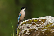 Azure-winged Magpie (Cyanopica cyana)<br /> Sierra de Andújar Natural Park, Mediterranean woodland of Sierra Morena, north east Jaén Province, Andalusia. SPAIN<br /> HABITAT & RANGE: Holm Oak groves, Olive trees, Pinewoods and Phoenician Juniper groves as well as riverside groves, wooded areas and parks and gardens. Iberian Peninsula.<br /> They are gregarious birds and usually found in small groups. Can be seen on the ground as well as on animals. They are omnivorous feeding on small invertebrates, insects, fruit, grasses, seeds, carrion and human rubbish.<br /> <br /> Mission: Iberian Lynx, May 2009<br /> © Pete Oxford / Wild Wonders of Europe<br /> Zaldumbide #506 y Toledo<br /> La Floresta, Quito. ECUADOR<br /> South America<br /> Tel: 593-2-2226958<br /> e-mail: pete@peteoxford.com<br /> www.peteoxford.com