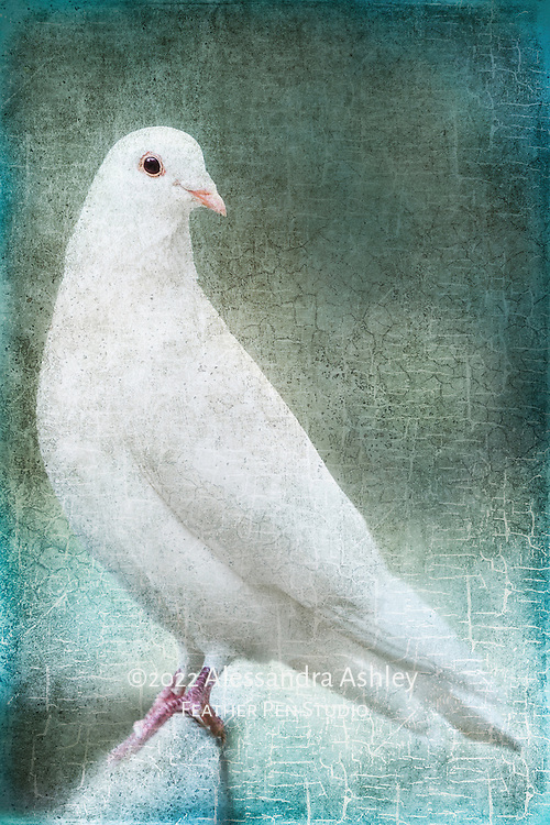 White dove, composited with crackled paint texture in shades of teal and olive.