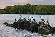 Blue-footed Booby (Sula nebouxii excisa)<br /> Black Turtle Cove, Santa Cruz Island<br /> Galapagos Islands<br /> Ecuador<br /> South America