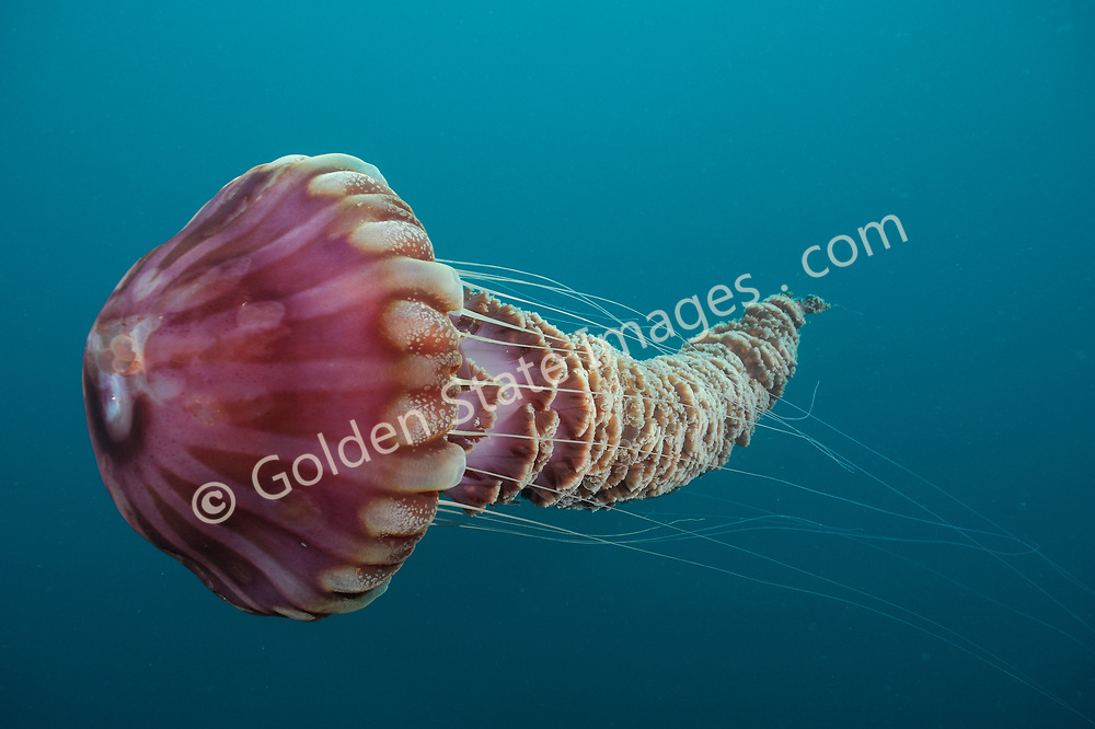 A very large jellyfish species, its bell can measure over three feet across and its ribbon like oral arms can trail behind over twenty feet in length.    <br /> <br /> These jellyfish are rarely seen but can occur in large swarms off Southern California such as occurred in 1989 and 1999.    <br /> <br /> Range: Undetermined - Believed to be Monterey California to Baja Coast.    <br /> <br /> Species: Chrysaora achlyos