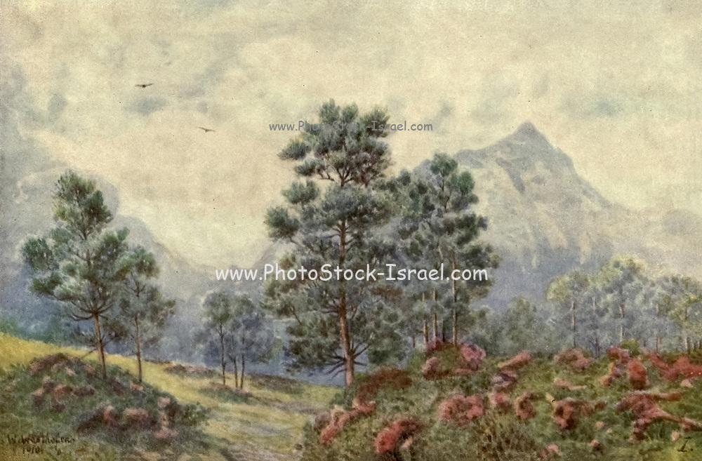 Silver Trees and Wild Geraniums, Cape Town From the book ' The Cape peninsula: pen and colour sketches ' described by Réné Juta and painted by William Westhofen. Published by A. & C. Black, London  J.C. Juta, Cape Town in 1910