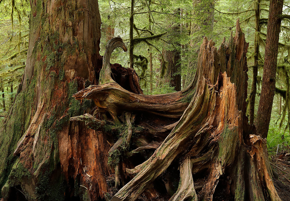 Old Growth Rainforest, Olympic National Park, WA.
