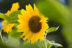 zonnebloem, sunflower,