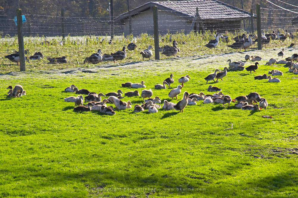 White and black ducks at a duck farm, kept outdoors for grazing before the final force feeding stage to make foie gras duck's liver. Ferme de Biorne duck and fowl farm Dordogne France