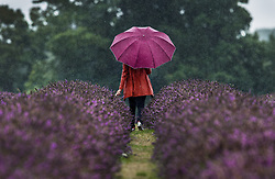 © Licensed to London News Pictures. 09/08/2017. Banstead, UK. A visitor to Mayfield Lavender Farm braves the summer rain. Bands of heavy unseasonal rain are crossing the UK. Photo credit: Peter Macdiarmid/LNP