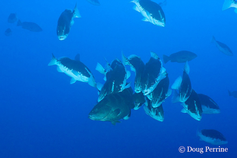 Nassau groupers, Epinephelus striatus, ( Endangered Species ) at spawning aggregation as sunset approaches, frantic males, in bicolor phase, pursue female, in normal dark color phase, Lighthouse Reef Atoll, Belize, Central America ( Caribbean Sea ) ( #1 in series of 6 )