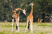 Two Rothchild giraffes ( Giraffa camelopardalis rothschildi) playing and necking, Lake Nakuru, Kenya