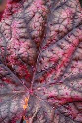 Rust damage on the leaves of  Heuchera 'Magnum'