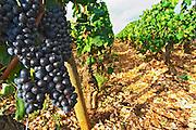 pinot noir vineyard beaune cote de beaune burgundy france