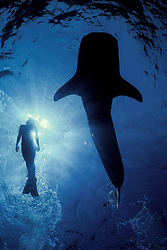 A snorkler experiences the thrill of a lifetime, swimming next to a Whale Shark, Rhincodon typus.  Richelieu Rock, Thailand, Andaman Sea