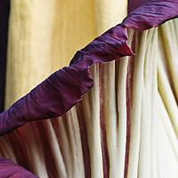 Titan Arum Amorphophallus Titanum Flower Stock Photos