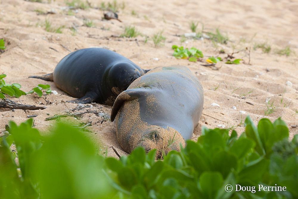 Hawaiian monk seals, Monachus schauinslandi, Critically Endangered endemic species, mother nursing 5-week old pup (will be weaned in 6 days), Larsen's Beach, Moloa'a, Kauai, Hawaii ( Central Pacific Ocean )