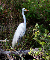 Egret in the  Florida Everglades photo by Catherine Brown