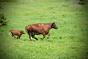 Nederland, Neerlangel, 2-5-2018In de uiterwaarden langs de Maas worden door een boer wilde grazers, brandrode runderen, na hun winterstal in het gebied uitggezet. Het brandrode rund is van oudsher een oud- Hollandse koe met cultuurhistorisch waarde. Deze uiterwaarden worden beheerd door Natuurmonumenten .Foto: Flip Franssen