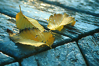 Yellow leaves lie on bandshell floor, Wascana Centre, Regina Saskatchewan