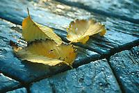 Yellow leaves lie on bandshell floor, Wascana Centre, Regina Saskatchewan