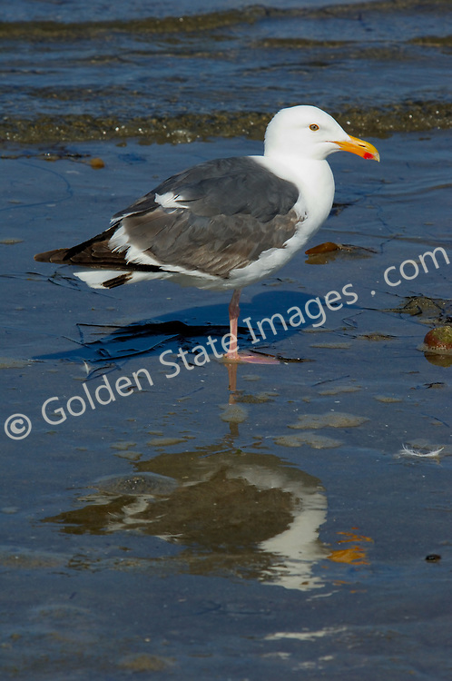 Large white-headed gull found on the western coast of North America.    <br />    <br /> Range: Washington and British Columbia to Baja Mexico    <br />   <br /> Species: Larus occidentalis