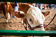"03 SEPTEMBER 2011 - ST. PAUL, MN: A cow waits to enter the show ring during the livestock show at the Minnesota State Fair, Saturday. The Minnesota State Fair is one of the largest state fairs in the United States. It's called ""the Great Minnesota Get Together"" and includes numerous agricultural exhibits, a vast midway with rides and games, horse shows and rodeos. Nearly two million people a year visit the fair, which is located in St. Paul.   PHOTO BY JACK KURTZ"