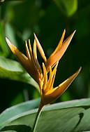 Heliconia psittacorum in Hyde Park Garden, St. George's, Grenada, West Indies, The Caribbean