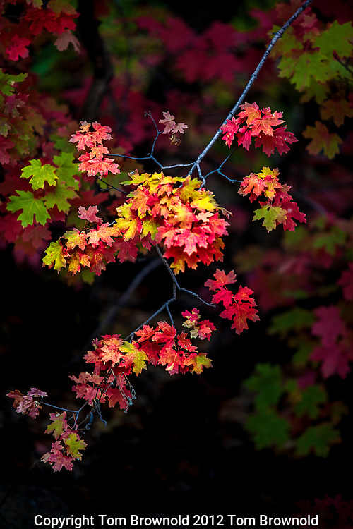 Maple leaves during the autumn color change