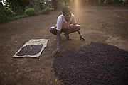 Indian man collecting coffee beans that have been drying in the sun. Coorg or Kadagu is the largest coffee growing region of India, in the state of Karnataka, the inhabitants - the Kodavas have been cultivating crops such as coffee, black pepper and cardamon for many generations.