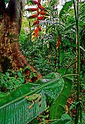 Barred Leaf frog (Phyllomedusa tomopterma) in rain forest - Amazonia, Peru.