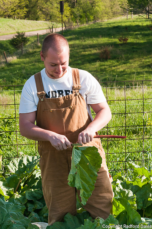 A volunteer harvests rhubarb
