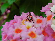 P1, Cute Orange & Black beetle on a pink and red flower