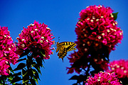 Yellow Southern swallowtail (Papilio alexanor) butterfly sitting on a red Bougainvillea With a blue sky background. This species of butterflies, also known as the Alexanor, is native to southern Europe. Photographed in Greece in August