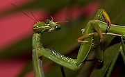 Sexual Cannibalism! Female Paying mantis Devours her partner<br /> <br /> imagine every time you made love to your partner you were dicing with imminent death. It might make<br /> you wary of having sex ever again (if you survived, that is!) yet male praying mantises can never be sure they will survive the sex act owing to their partners<br /> natural predatory instinct. Sexual cannibalism is a natural phenomenon whereby one organism (generally the female) eats the other (typically the Male) before, during or right after sex.<br /> this amazing sequence of photographers shows a female praying mantis eating her lover <br /> <br /> Photo shows:Once the head is bitten off, the males movements become more active and energetic,This results in a more vigorous and, one would surmise, more abundant and perhaps deeper delivery of sperm, here, the female is eating her partners eye!<br /> <br /> ©Oliver Koemmerling/Exclusivepix