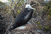A young magnificent frigatebird (Fregata magnificens) sits on the nest. North Syemour Island, Galapagos Archipelago - Ecuador.