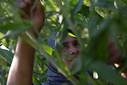 Siti Rofi'ah, 45, inspects a sorghum plant in her demonstration plot in Merdeka, Lebatukan subdistrict, Lembata district, East Nusa Tenggara province, Indonesia.