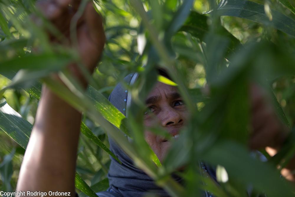 Siti Rofi'ah, 45, inspects a sorghum plant in her demonstration plot in Merdeka, Lebatukan subdistrict, Lembata district, East Nusa Tenggara province, Indonesia.