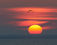 Seagull at Sunrise.  Viewed from the deck of the MV Explorer. Saint Petersburg, Russia. Image taken with a Nikon Df camera and 70-200 mm lens.