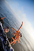 A diver swims to the surface holding a pair of King Crab in his hands, at a lake in Jarfjord near Kirkeness, Finnmark region, northern Norway