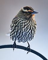 Female Red-winged Blackbird (Agelaius phoeniceus). Image taken with a Nikon D850 camera and 600 mm f/4 VR lens.
