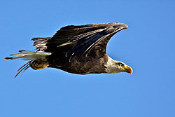 Bald Eagle in Flight, Grand Teton National Park