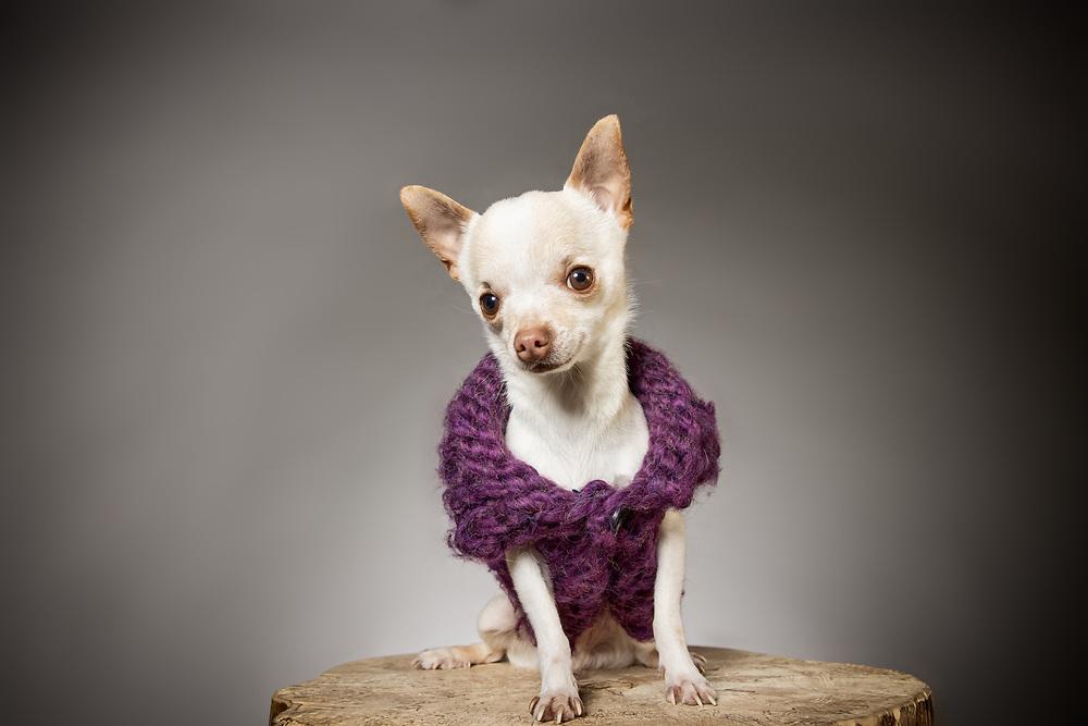 Studio portrait of a chihuahua in a purple sweater