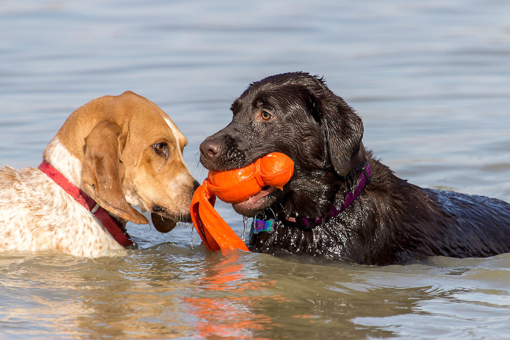 Two dogs play with a toy in the pond.