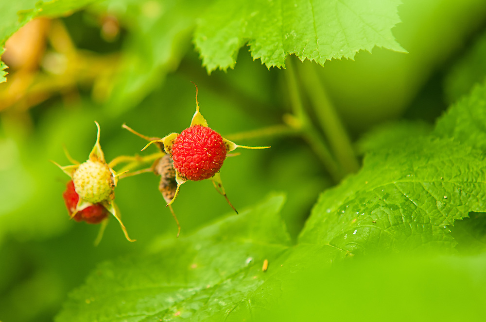 A juicy, ripe thimbleberry growing on the western side of Washington's Rattlesnake Mountian. This common, very-seedy wildberry has a long history among the native peoples of the Pacific Northwest, namely the Nuu-chah-nulth, Kwakwaka'wakw, and the Nuxalk.