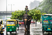 11th September 2014, New Delhi, India. An elephant loaded with fodder pillaged from the city's trees is ridden by handlers on a busy road in monsoon rain in New Delhi, India on the 11th September 2014<br /> <br /> Elephant handlers (Mahouts) eke out a living in makeshift camps on the banks of the Yamuna River in New Delhi. They survive on a small retainer paid by the elephant owners and by giving rides to passers by. The owners keep all the money from hiring the animals out for religious festivals, events and weddings, they also are involved in the illegal trade of captive elephants.The living conditions and treatment of elephants kept in cities in North India is extremely harsh, the handlers use the banned 'ankush' or bullhook to control the animals through daily beatings, the animals have no proper shelters are forced to walk on burning hot tarmac and stand for hours with their feet chained together. <br /> <br /> PHOTOGRAPH BY AND COPYRIGHT OF SIMON DE TREY-WHITE<br /> + 91 98103 99809<br /> email: simon@simondetreywhite.com photographer in delhi