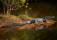 Alligator Sunning Along a Canal at Merritt Island National Wildlife Refuge in Florida. Image taken with a Nikon D3x camera and 300 mm f/4 lens (ISO 250, 300 mm, f/4, 1/1000 sec).
