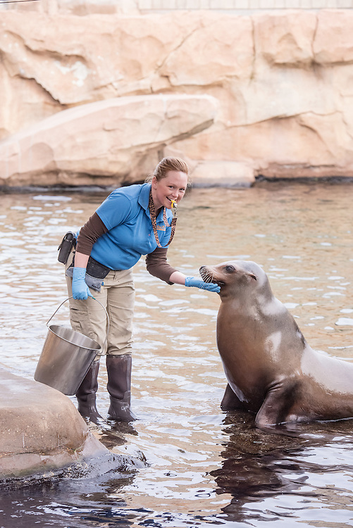 Kentucky Wesleyan College graduate Stephanie Green, a zoo keeper at the Louisville Zoo, works with the polar bears and sea lions Thursday, Dec. 10, 2015 in Louisville, Ky. (Photo by Brian Bohannon)