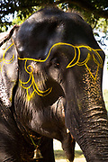 A painted elephant at the month long Sonepur animal fair, close to Patna, Bihar, India.