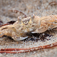 Atlantic Ghost Crab (Ocypode quadrata)on the beach at First Landing State Park, Virginia Beach, VA just after sunset.