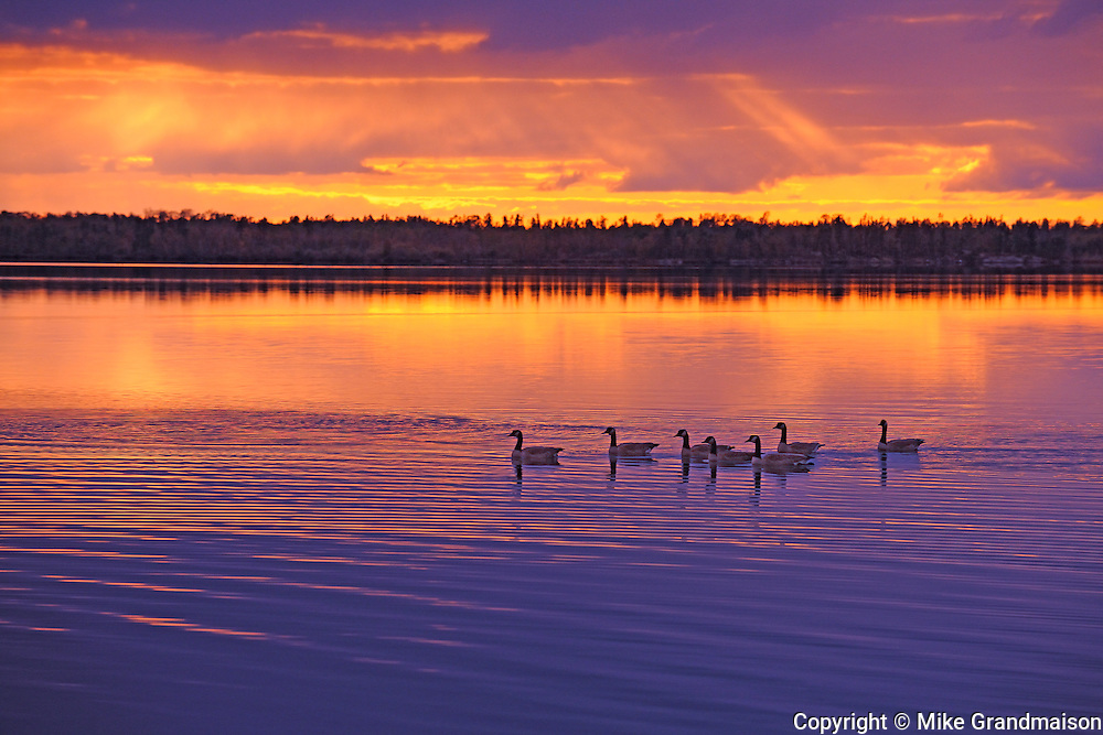Canada geese on White Lake<br /> Whiteshell Provincial Park<br /> Manitoba<br /> Canada