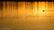 The golden light reflecting off the water and light ripples were intriquing and created a peaceful atmosphere.  I wanted to focus in on just the reflection in the water.  The coot provided some additional interest and a place for the eye to rest as it purused the reflection.