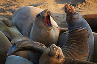 Elephant Seals at Piedras Blancas Beach, Central California Coast. Image taken with a Nikon D3x and 70-300 mm VR lens (ISO 400, 300 mm, f/8, 1/160 sec).